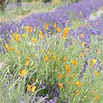 Sophias Garden Biodynamic Demeter Certified Lavender